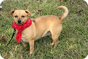Chihuahua Mix Dog for adoption in Haggerstown, Maryland - Chelsea