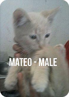 Domestic Shorthair Kitten for adoption in Glendale, Arizona - Mateo