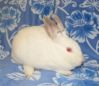 Himalayan Mix for adoption in Chesterfield, Missouri - Ribbons