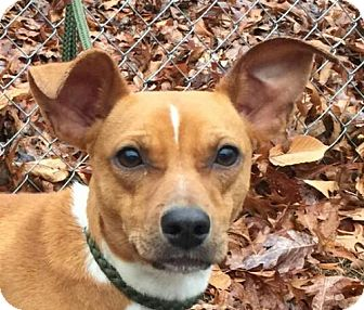 Terrier (Unknown Type, Small)/Whippet Mix Puppy for adoption in Harrisonburg, Virginia - Judy