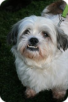 Lhasa Apso/Dandie Dinmont Terrier Mix Dog for adoption in Tacoma, Washington - Woogie
