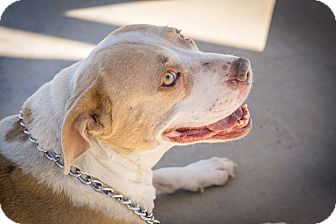 Pit Bull Terrier Mix Dog for adoption in Gardnerville, Nevada - Daisy