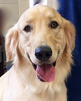 Golden Retriever Mix Dog for adoption in BIRMINGHAM, Alabama - Buddy Boy - Adoption Pending