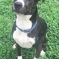 Adopt A Pet :: Boone - Richmond, VA