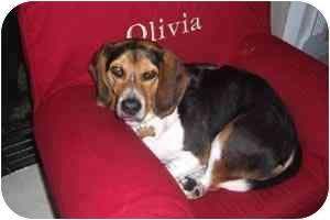 Beagle Dog for adoption in Cincinnati, Ohio - Beagle_Jake