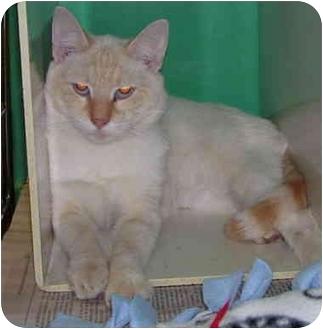 Siamese Cat for adoption in Somerset, Pennsylvania - Stevie