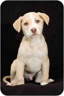 Australian Shepherd Mix Puppy for adoption in Portland, Oregon - Abe
