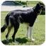 Photo 3 - Border Collie Dog for adoption in Bellevue, Nebraska - Riane