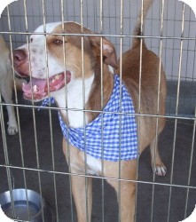 Labrador Retriever Mix Dog for adoption in Las Vegas, Nevada - Nakeeta's Nicky aka Max