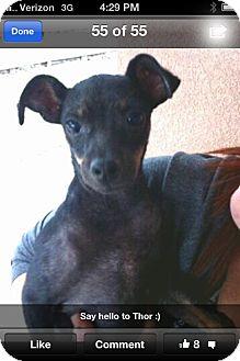 Miniature Pinscher/Chihuahua Mix Dog for adoption in Corpus Christi, Texas - Thor