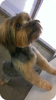 Yorkie, Yorkshire Terrier Dog for adoption in Phoenix, Arizona - Potter