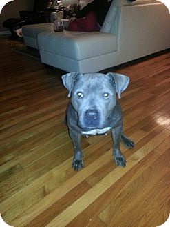 Pit Bull Terrier Dog for adoption in East McKeesport, Pennsylvania - Cookie