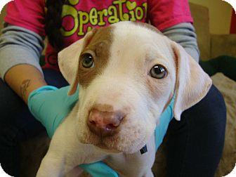 American Pit Bull Terrier Mix Dog for adoption in Philadelphia, Pennsylvania - Myra