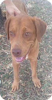 "Labrador Retriever Mix Dog for adoption in McAllen, Texas - ""Active and playful"" Luna"