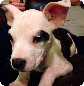 Boston Terrier Mix Puppy for adoption in Huntersville, North Carolina - Bailey