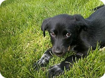 Australian Shepherd/Labrador Retriever Mix Puppy for adoption in Vancouver, Washington - Gisele