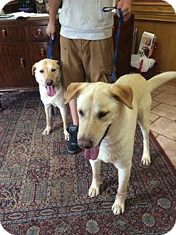 Labrador Retriever Mix Dog for adoption in Austin, Texas - Debo