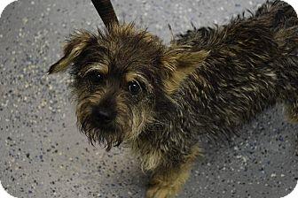 Scottie, Scottish Terrier/Schnauzer (Miniature) Mix Dog for adoption in Lebanon, Missouri - Ariel