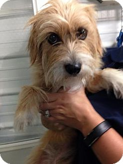 Terrier (Unknown Type, Medium) Mix Dog for adoption in Newburgh, Indiana - India