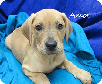 Labrador Retriever Mix Puppy for adoption in Bartonsville, Pennsylvania - Amos