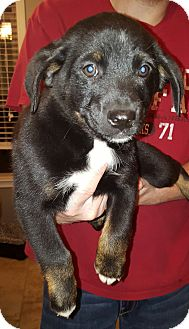 Rottweiler/Boxer Mix Puppy for adoption in Buffalo, New York - Delbert