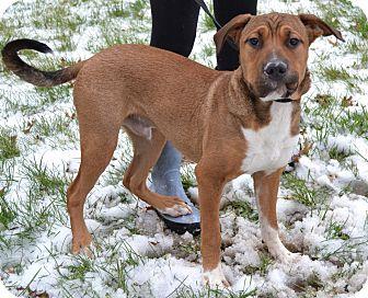 Labrador Retriever/Basset Hound Mix Puppy for adoption in Michigan City, Indiana - Copper