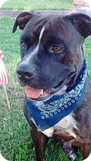 American Bulldog Mix Dog for adoption in Palmetto Bay, Florida - Deisel