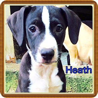Labrador Retriever/Hound (Unknown Type) Mix Puppy for adoption in Haggerstown, Maryland - Heath
