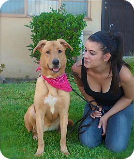 Labrador Retriever/Golden Retriever Mix Dog for adoption in Los Angeles, California - Pretty Charly Girl