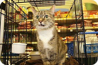 Domestic Shorthair Cat for adoption in Rochester, Minnesota - Sugar