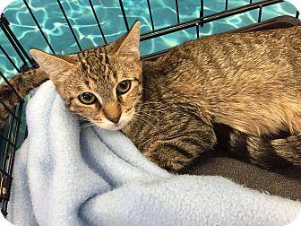 Domestic Shorthair Kitten for adoption in Mansfield, Texas - Shrek