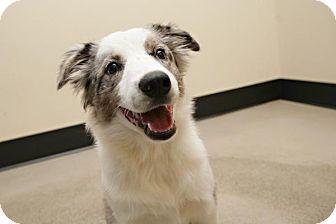 Australian Shepherd Mix Dog for adoption in Bellingham, Washington - Ryder