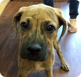 Boxer Mix Puppy for adoption in Nashville, Tennessee - Filbert