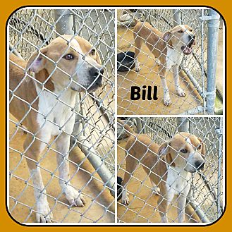 Treeing Walker Coonhound Mix Dog for adoption in Malvern, Arkansas - BILL