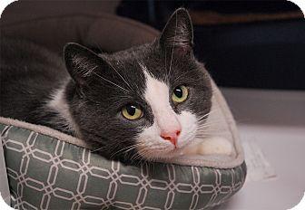 Domestic Shorthair Cat for adoption in Winchendon, Massachusetts - Rudy