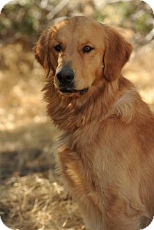 Golden Retriever Dog for adoption in Long Beach, California - PARKER