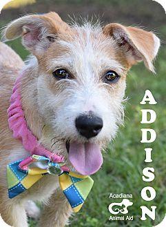 Wirehaired Fox Terrier/Schnauzer (Standard) Mix Puppy for adoption in Denver, Colorado - Addison