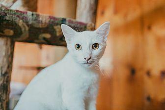 Domestic Mediumhair Cat for adoption in Statesville, North Carolina - Jake