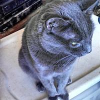 Korat Cat for adoption in Scottsdale, Arizona - Silver