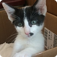 Domestic Shorthair Kitten for adoption in Breese, Illinois - Boogs