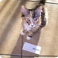 Domestic Longhair Kitten for adoption in San Tan Valley, Arizona - Arlinda
