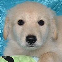 Adopt A Pet :: Marinara Sauce Pacey-Murray - Cuba, NY