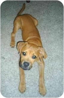 Boxer Mix Dog for adoption in Thomasville, Georgia - Logan