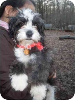 Shih Tzu Mix Puppy for adoption in Foster, Rhode Island - Ross
