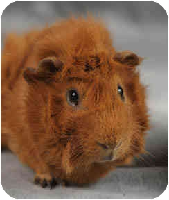 Guinea Pig for adoption in Chicago, Illinois - Caramel