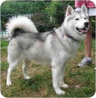 Husky Dog for adoption in Horsham, Pennsylvania - TASHA