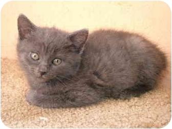 Manx Kitten for adoption in Tillamook, Oregon - Moreta