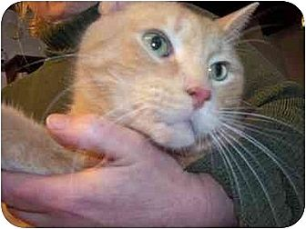 Domestic Shorthair Cat for adoption in East Stroudsburg, Pennsylvania - Sandy