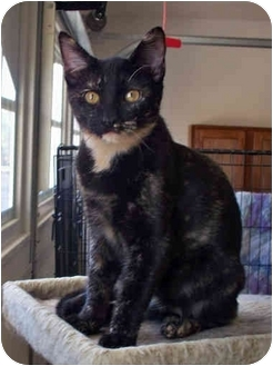 Domestic Shorthair Cat for adoption in Palmdale, California - Rosalie