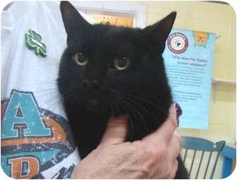 Domestic Shorthair Cat for adoption in Haughton, Louisiana - Pumpkin